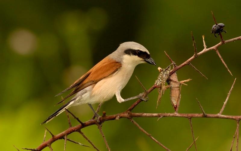 Incendies & biodiversité : comment les oiseaux se réapproprient-ils les zones incendiées ?