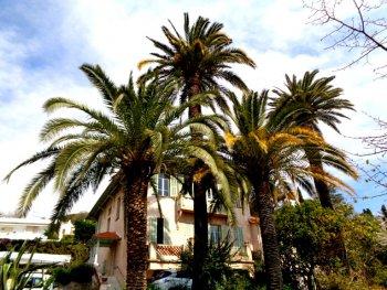 Pour sauver nos palmiers menacés du charançon rouge : la Ville de Vence innove !