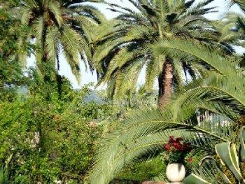 Palmiers… les préserver des parasites