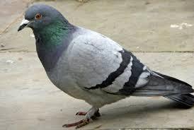 ''Pigeon Vole''! Plus pour longtemps à Vence!
