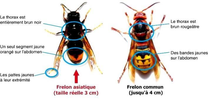 Frelon asiatique : dispositif actif jusqu'au 11 décembre 2020